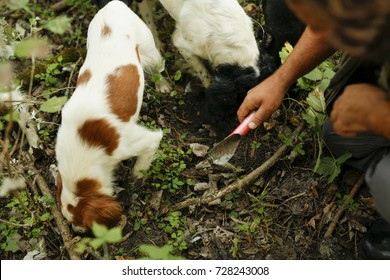 Man with dogs digging black and white truffle. Truffle hunting in forest