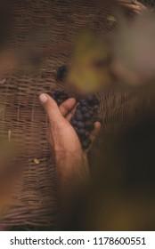 Man drops the grapes into a basket
