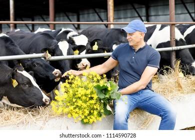 Man farmer is feeding cows on a farm