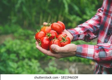 Ein Bauer hält eine Pflanze von Tomaten in den Händen. Selektiver Fokus. Natur.