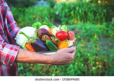 Ein Bauer hält eine Gemüseernte in den Händen. Selektiver Fokus. Natur.