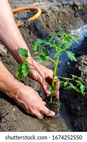 Man farmer planting tomato seedlings in garden outdoors. Strong hands close up