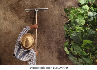 man farmer working with rake in vegetable garden, raking the soil near a cucumber plant, top view and copy space template