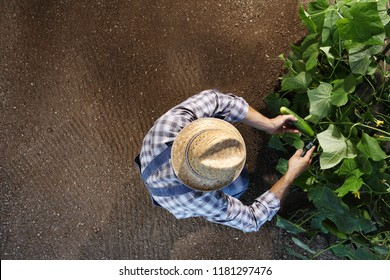man farmer working in vegetable garden, collects a cucumber, top view and copy space template