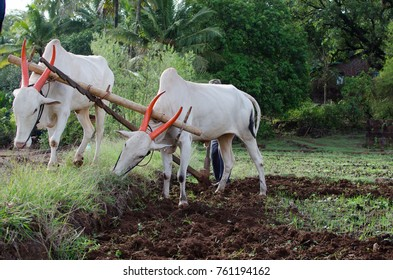 Man farming the field with bullocks - Shutterstock ID 761194162