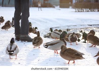 Man feeding ducks in the park