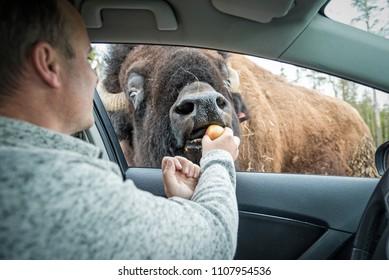Man feeding European bison