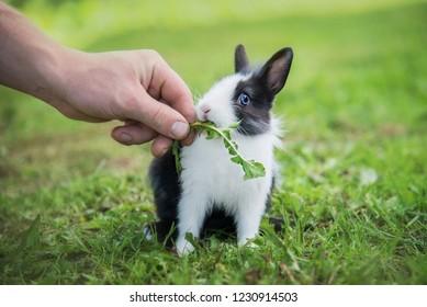 Man feeding little rabbit with a grass