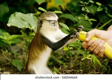 Man feeding mona monkey