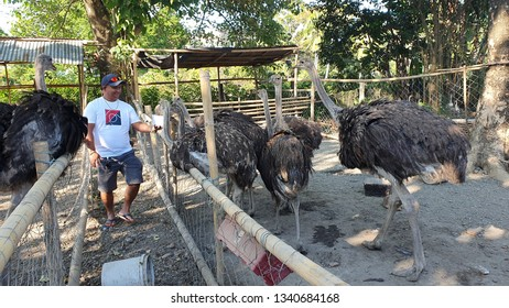 A man is feeding an Ostrich  in a farm in Kalibo, Aklan in Central Philippines March 15, 2019