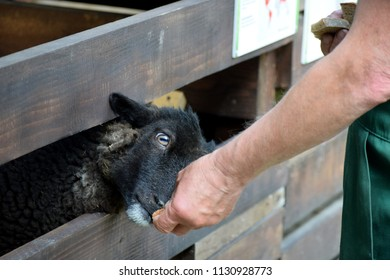 A man feeds a black sheep with bread.