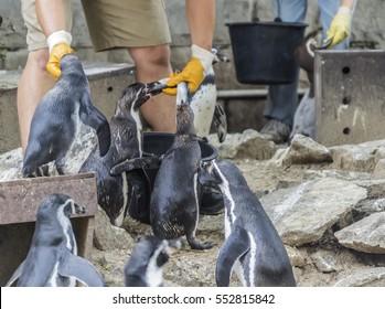 Man feeds penguins fresh fish summer day