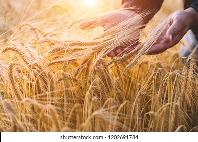 Man in a field of wheat touched by the hand of spikes in the sunset light. Farmer examing wheat during autumn season. Hands and ears of golden wheat close up. Rural scenery. Toned image. Soft focus.