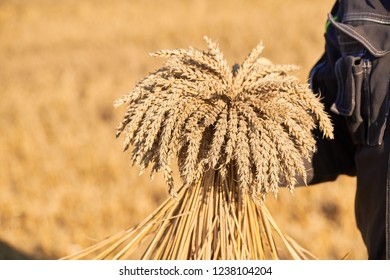 A man in a field of wheat touched by the hand of spikes in the sunset light. Harvest, harvesting concept. Wheat sprouts in a farmer's hand. Farmer Checking Wheat Crop. Wheaten ears in the farmer hands