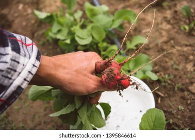 Man in the garden  holding organic radishes
