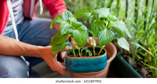 Hombre jardinero trasplantando pequeñas plantas de pimienta a macetas más grandes - actividad de jardinería en el soleado balcón. Decoración de la casa con plantas.