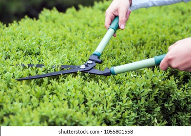 Man gardener trimming hedge with garden shears