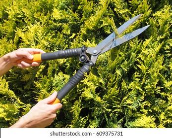 Man Gardener trimming hedge with garden shears