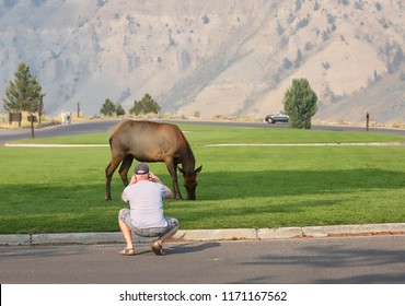 Man gets too close to a female elk grazing on grass at Mammoth Hot Springs in Yellowstone National Park, Wyoming and take a close up photo.