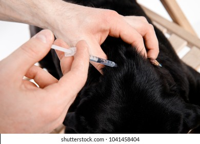 Man give medicine to pug dog with syringe. Concept of diabetes in animals Insulin