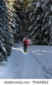 The man goes away into the woods; Winter hike through the fir forest