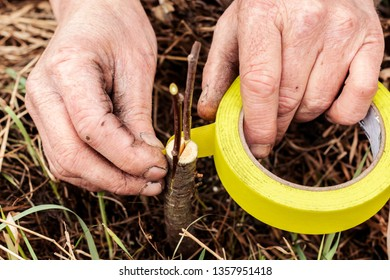 Man grafting tree in garden, pear, apple tree, work of gardener in spring.