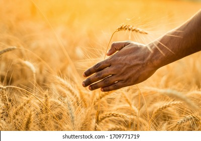 Man hand caring his wheat ear in his wheat field close-up . Sunny day and shiny background .