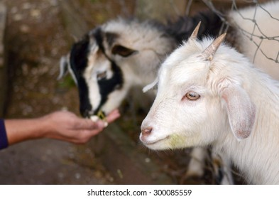 Man hand feed two kid Goats food in a Got farm.