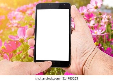 Man hand hold touch screen smart phone on Pink Cosmos Flower background.
