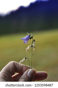 Man hand holding a beautiful blue campanula flower covered with water drop on mountains background. Beautiful blue campanula.