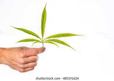 Man hand holding cannabis leaf, marijuana leaf isolated on white background
