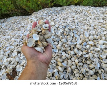 Man hand holding cockle shells on cockle shells background. Escalope cockles texture.