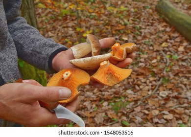 man' hand holding Forest mushrooms. Lactarius deliciosus (Saffron milk cap), fresh porcini cep and Macrolepiota procera. Edible fungus growing in woodland. Autumn harvest fungi. Mushrooming season