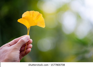 The man hand holding leaf of yellow Ginkgo biloba leaves or Momijigari in autumn at Japan. Light sunset of the sun with dramatic yellow and orange sky. Image depth of field.