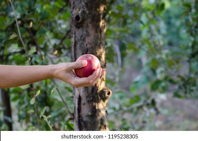 Man hand holding red apples freshly picked from the tree - European apple harvesting scene