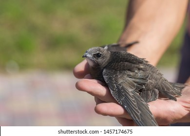 The man hand holds the swifts found in order to let go, close up. Newborn swift in human arms on a sunny summer day. Care of a small bird that fell out of the nest. Wildlife conservation.