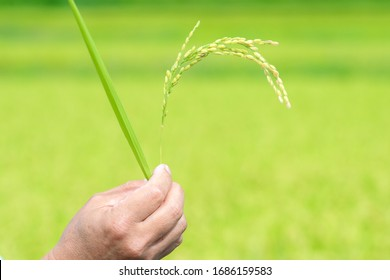 Man hand is holing and showing a rice plant and leaf at the rice paddy field in Japan.