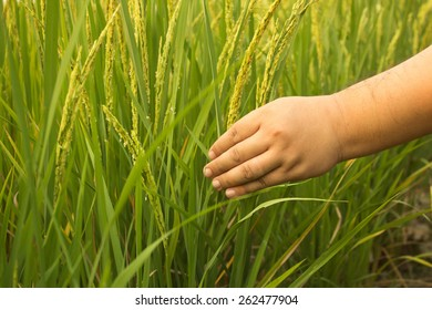 Man hand with rice field