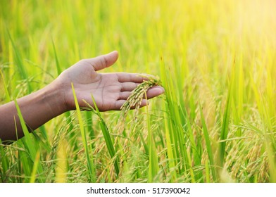 man hand with rice field at evening light. subject soft focus and low key