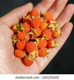 Man hands with big red raspberries(Rubus corchorifolius)