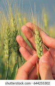Man hands checking green grain