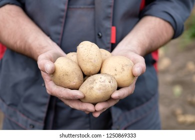 man in the hands of holding white potato tubers, man dressed in work clothes on the background of the garden