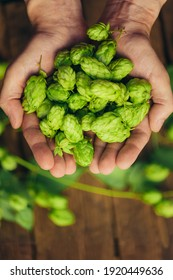 Man hands with ripe green hop cones over aged wooden desk surface.