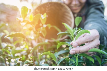 Man harvest / pick fresh green tea leaves at high land tea field in Chiang Mai Thailand - local people with agriculture in high land nature concept