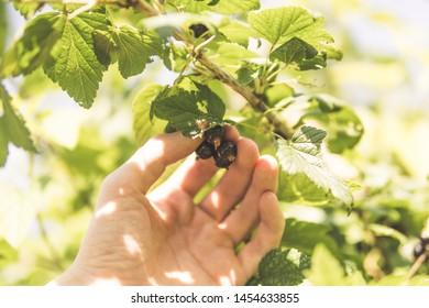 man harvesting berries from the bush