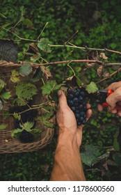 Man harvesting grapes in the vineyard