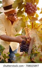 Man harvesting grapes for wine in his vineyard