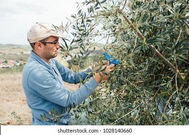Man harvesting olives