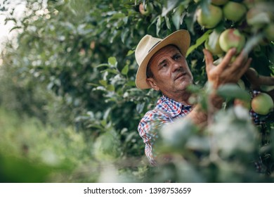 A man harvesting a rich harvest of apples in the orchard