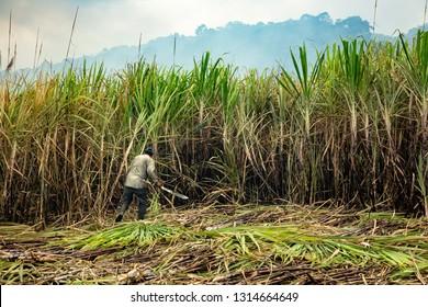 A man harvesting sugar cane with a machete near Oriente, Costa Rica